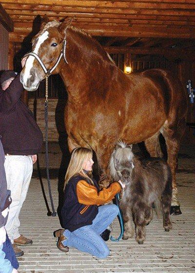 big jake un trait belge est officiellement le cheval le plus grand du monde avec 2 10 m au. Black Bedroom Furniture Sets. Home Design Ideas